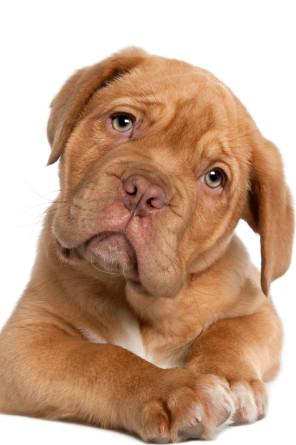 Oftalmologia Veterinária - Olhos Vermelhos em cães e gatos - Renan Pagliarini